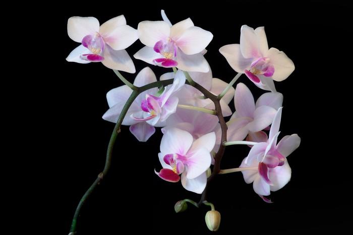 Vinylová Tapeta Bílá orchidej - Témata