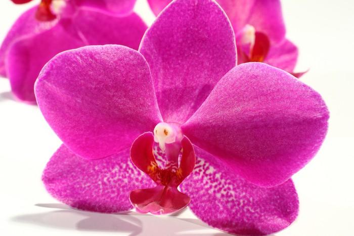 Vinylová Tapeta Makro fotografii květy orchidejí - Přírodní krásy