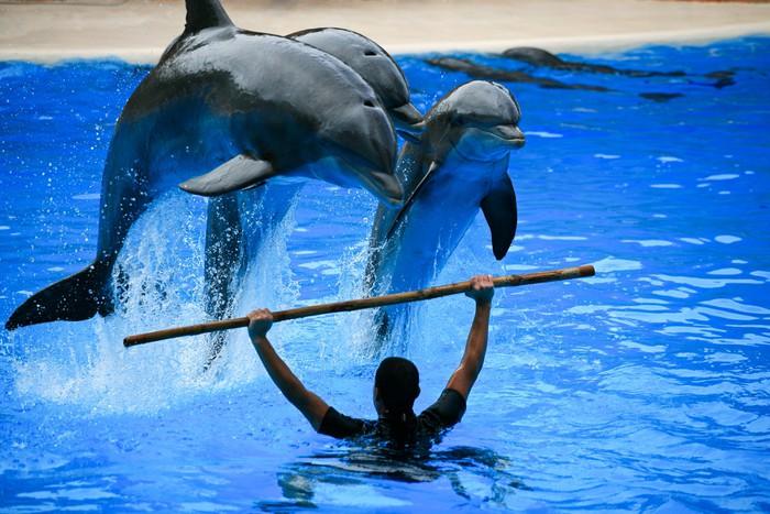 Vinylová Tapeta Tři Delfíni skákání z vody - Evropa
