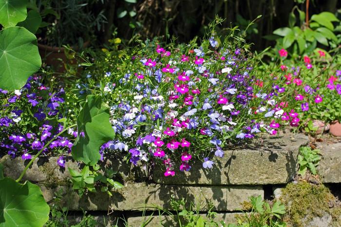 Vinylová Tapeta Lobelia květiny rostoucí v zahradě - Domov a zahrada