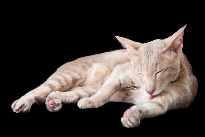 Vinylová fototapeta Orientální kočky mytí podle jazyku na černém - Vinylová fototapeta