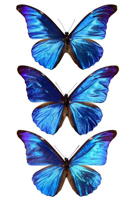 Papier Peint Vinyle Trois morpho bleu - Animaux