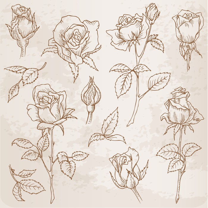 Vinylová Tapeta Flower Set: Podrobný Ručně malovaná růže ve vektoru - Slavnosti