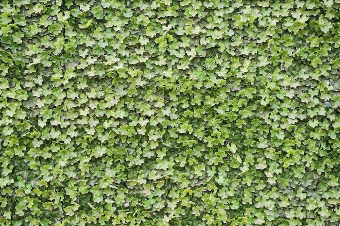 fototapeta zielone li cie plastikow bluszcz pixers yjemy by zmienia. Black Bedroom Furniture Sets. Home Design Ideas