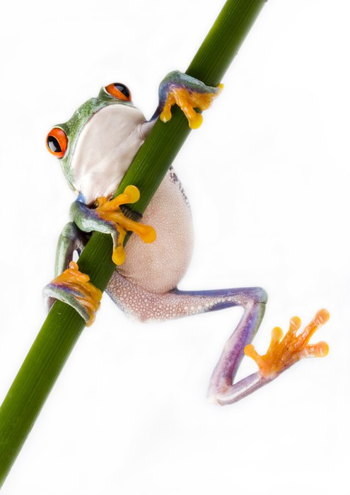 Red eyed tree frog Sticker - Pixerstick - Other Other