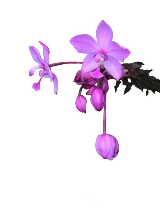 Vinylová Tapeta Spathoglottis plicata - Květiny