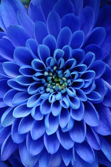 fototapete nahaufnahme der blauen blume aster mit blauen. Black Bedroom Furniture Sets. Home Design Ideas