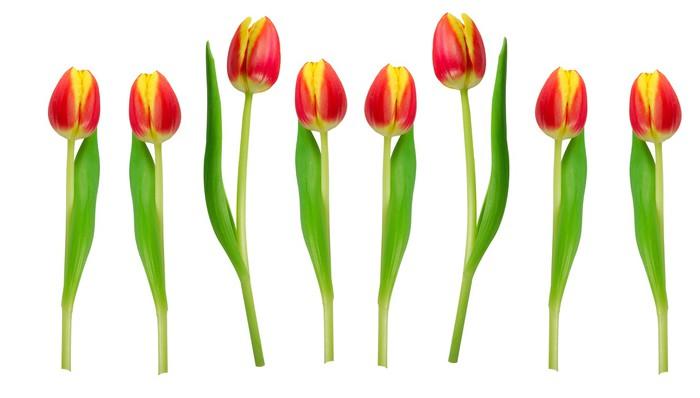 Vinylová Tapeta Tulipány stojí v řadě - Květiny