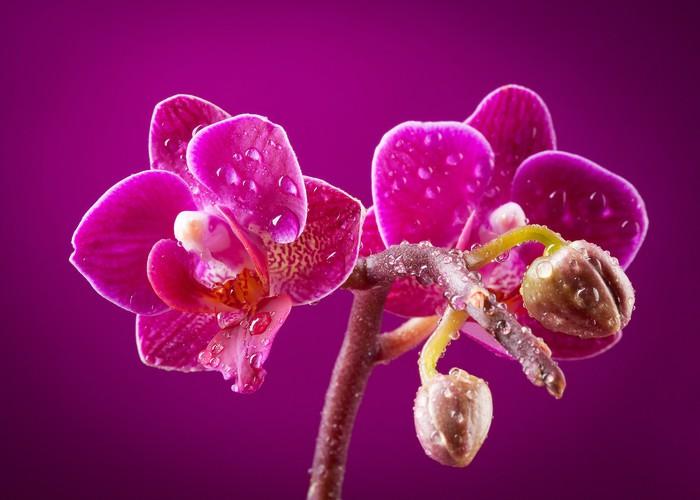 Vinylová fototapeta Mini orchidej na růžovém pozadí - Vinylová fototapeta
