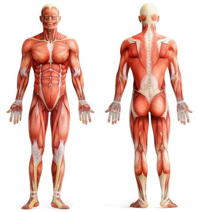 muskel anatomi