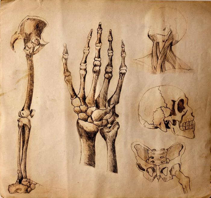 Fototapete Alte Zeichnungen der Anatomie (Körperteile) • Pixers ...