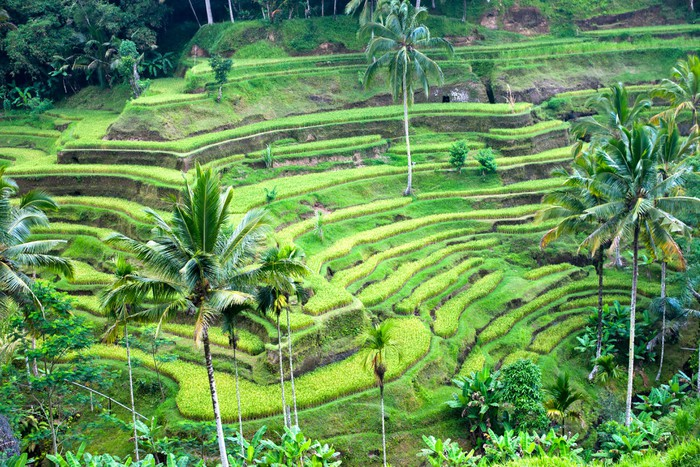Amazing rice terrace field ubud bali indonesia wall for Mural indonesia