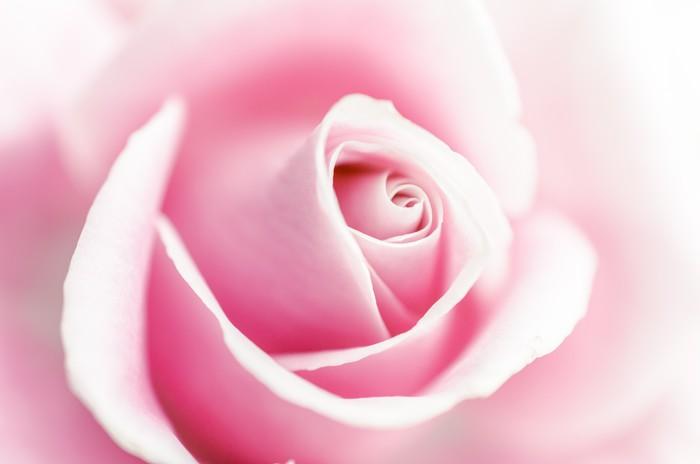 Carta Da Parati Fiori Rosa : Carta da parati fiori rosa u2022 pixers® viviamo per il cambiamento