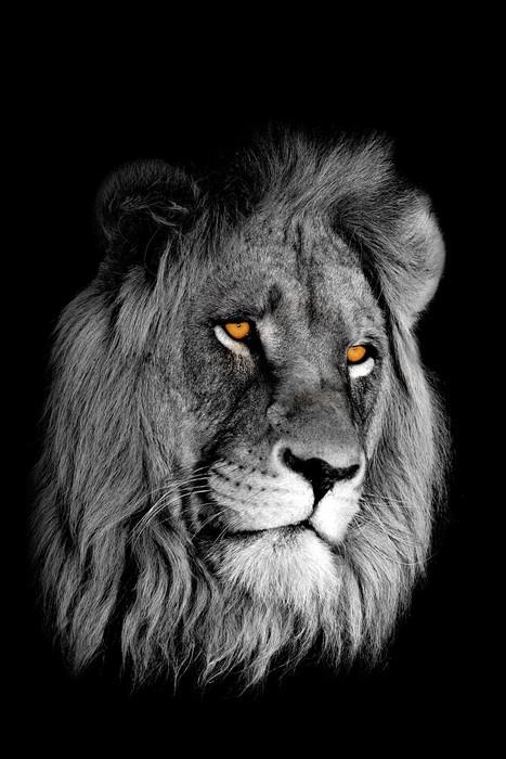 papier peint lion africain panthera leo portrait. Black Bedroom Furniture Sets. Home Design Ideas