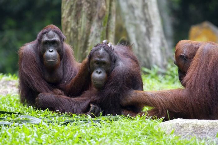 Vinylová Tapeta Borneo Orangutan - Savci