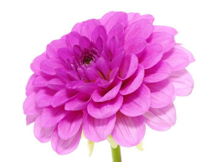 Vinylová Tapeta Růžová květina - Květiny
