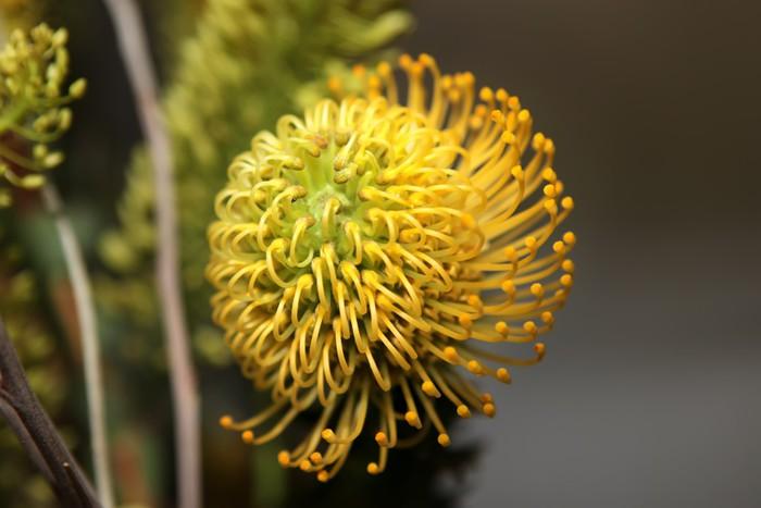 Vinylová Tapeta Protea květiny - Květiny