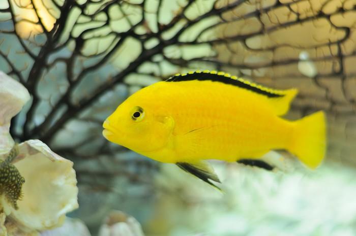 Vinylová Tapeta Electric Yellow Cichlid Ryby v akváriu - Vodní a mořský život