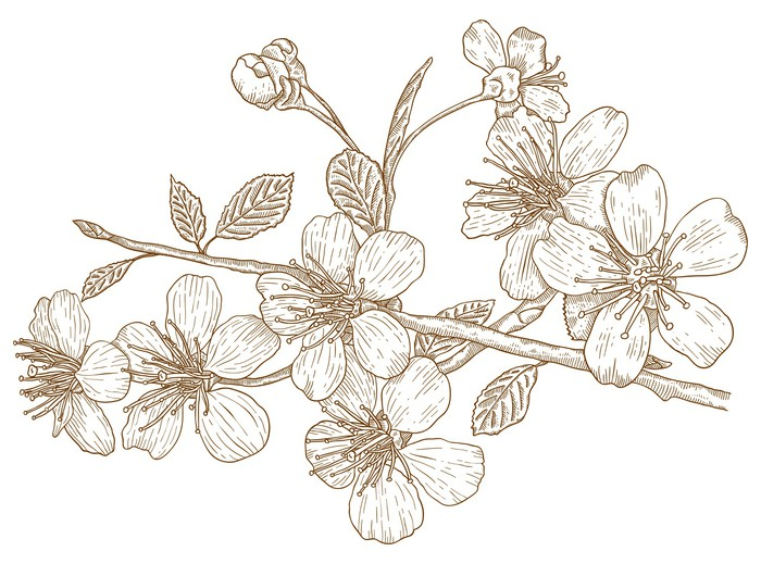 Vinylová Tapeta Ilustrace třešňových květů - Stromy