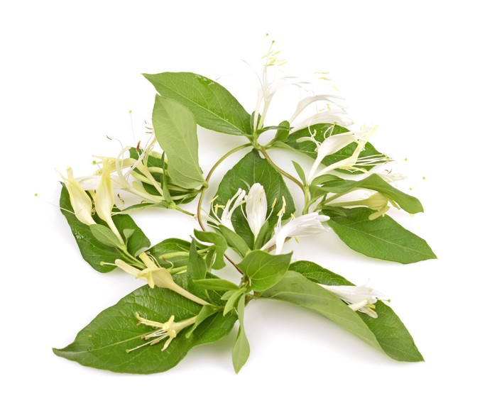 Vinylová Tapeta Ratolest zimolezu s bílými květy a zelenými listy - Květiny