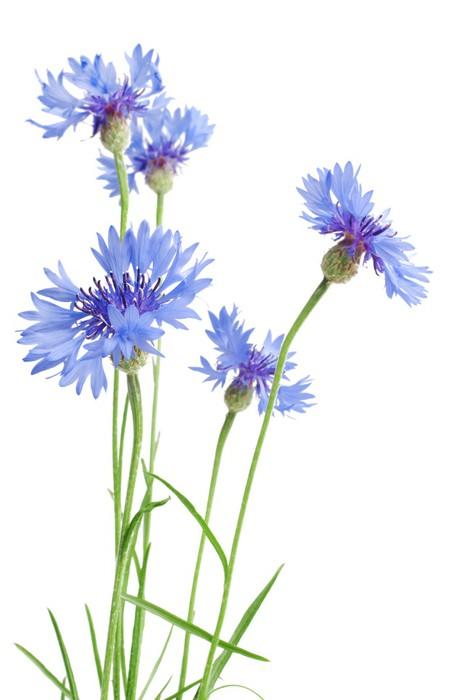fototapete sch ne blaue kornblume auf wei em hintergrund pixers wir leben um zu ver ndern. Black Bedroom Furniture Sets. Home Design Ideas