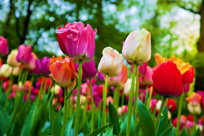 Vinylová fototapeta Barevné květy tulipánů v parku na jaře, zahrada - Vinylová fototapeta