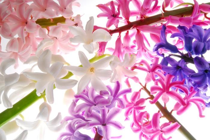 Vinylová Tapeta Hyacint květy s jinou barvou - Květiny
