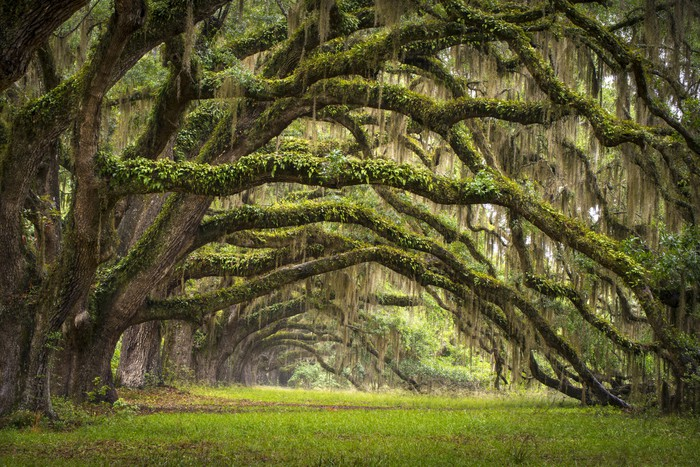 Live Oak tree forest Wall Mural Pixers We live to change
