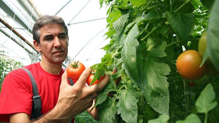 Vinylová Tapeta Tomato Harvest ve skleníku - Zemědělství