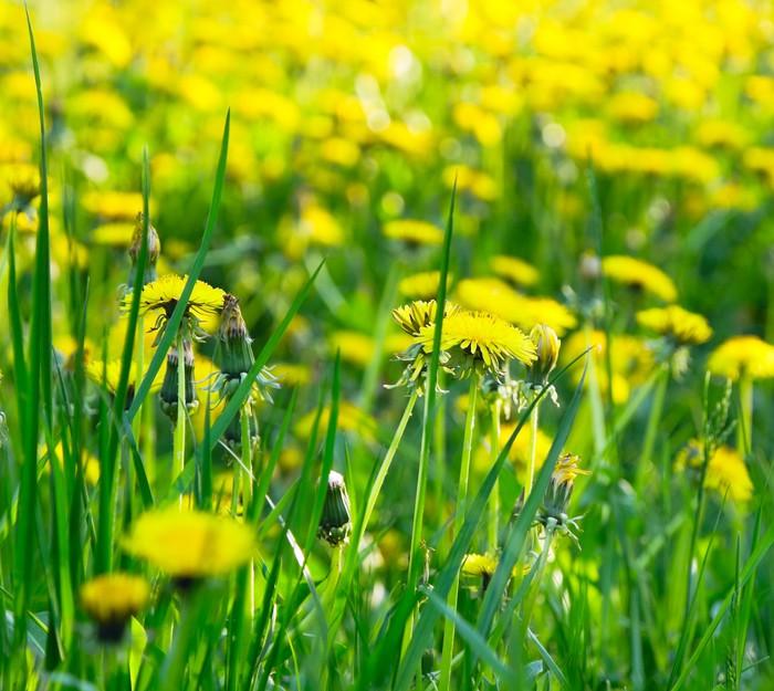 Vinylová Tapeta Žlutá pampeliška květiny - Květiny