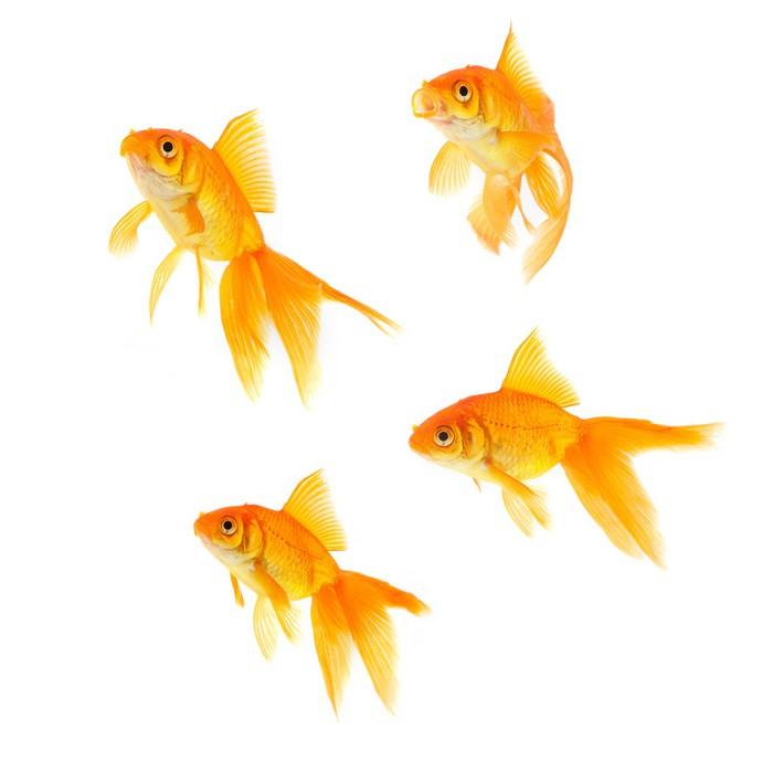 Papier peint poisson rouge pixers nous vivons pour for Poisson rouge a acheter