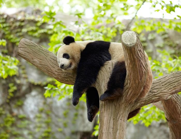 tableau sur toile dormir b b panda g ant pixers nous vivons pour changer. Black Bedroom Furniture Sets. Home Design Ideas