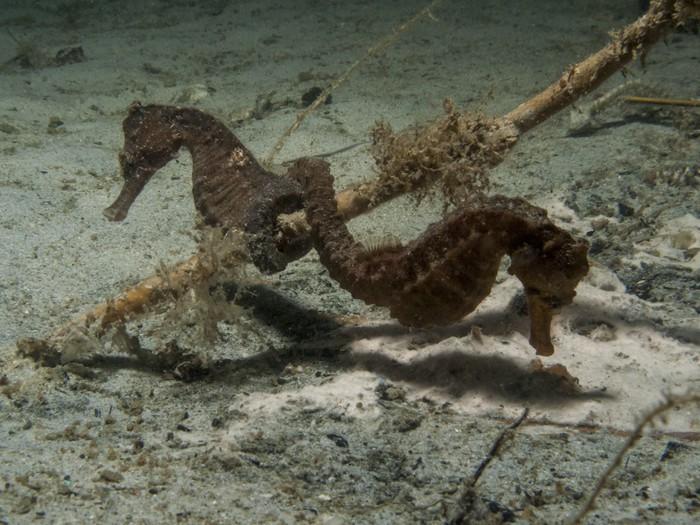 Vinylová Tapeta Spiny Seahorse - Hippocampus hystrix - Vodní sporty
