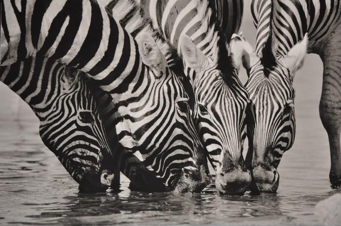 Vinylová Tapeta Namibie Zebra SW - Témata