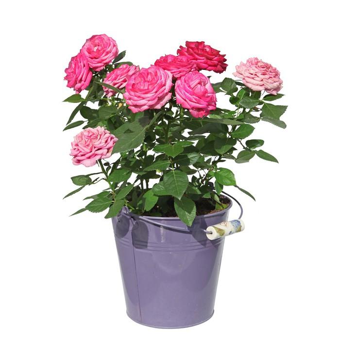 Sticker rosier en pot pixers nous vivons pour changer - Rosier en pot ...