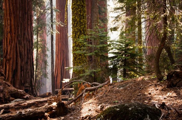 Vinylová Tapeta Sequoia National Park - Amerika