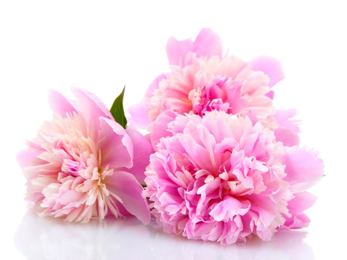 Pink peonies flowers isolated on white wall mural pixers we pink peonies flowers isolated on white vinyl wall mural styles mightylinksfo
