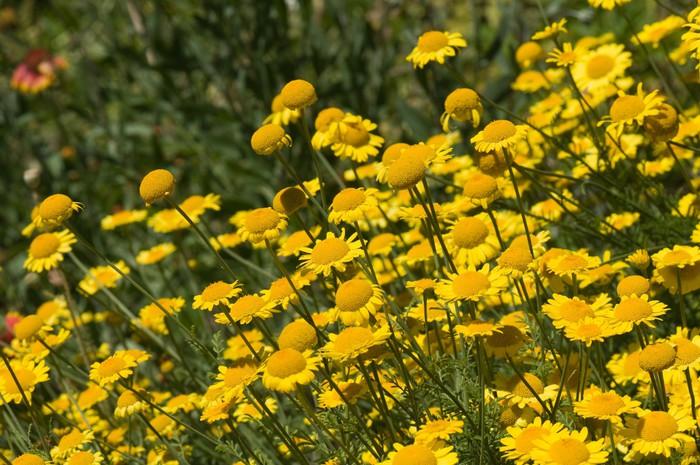 Vinylová Tapeta Žluté sedmikrásky - Květiny