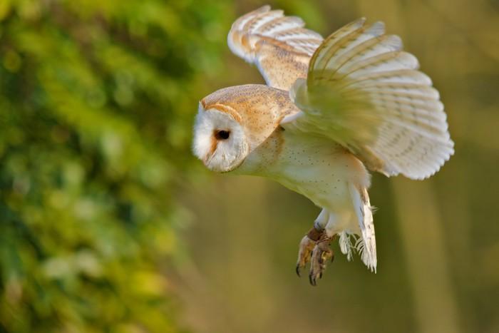 Vinylová Tapeta Barn Owl létání - Témata