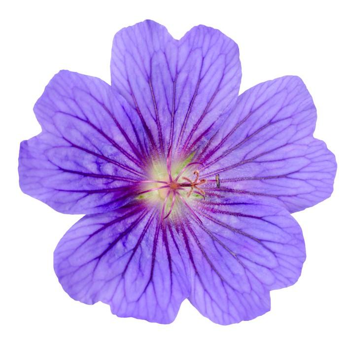 Vinylová Tapeta Purple Geranium Flower izolovaných na bílém - Květiny