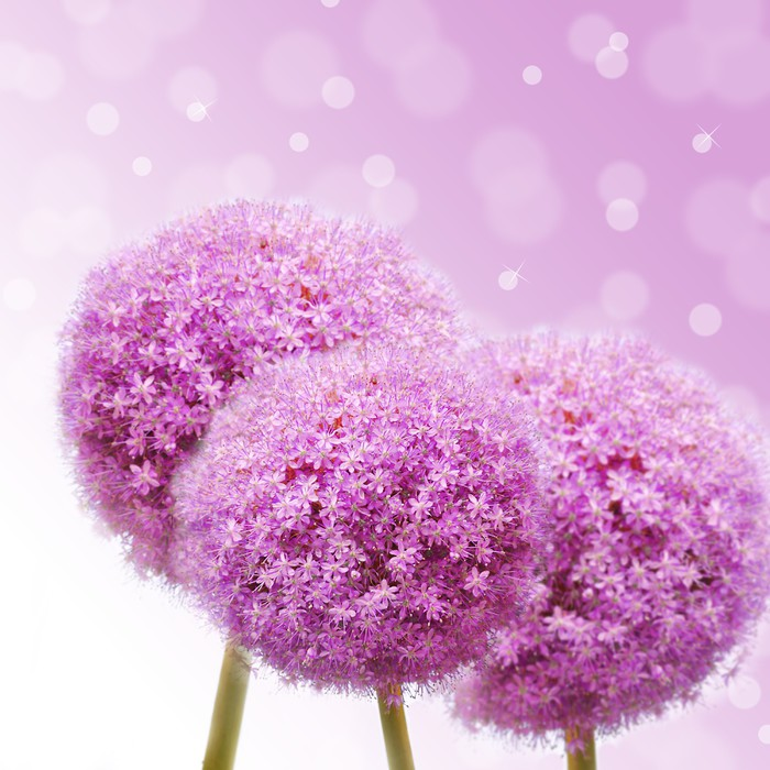 Pink allium wall mural pixers we live to change pink allium vinyl wall mural flowers mightylinksfo