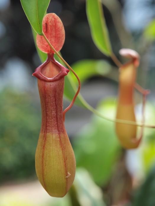 Vinylová Tapeta Nepenthe tropická masožravec špirlice - Rostliny