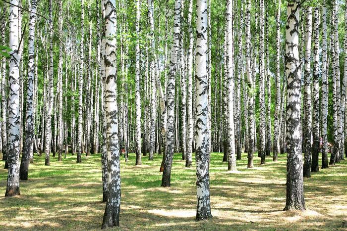 Papier Peint Vinyle Birches - Thèmes