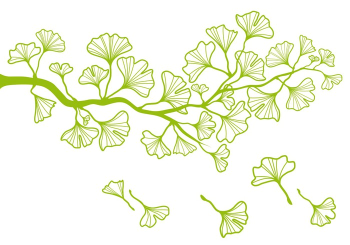 ginkgo tree branch with green leaves, vector Wall Mural • Pixers ...
