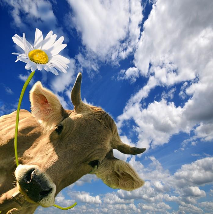 Fototapete Geburtstag: Kuh schenkt Eine Blume • Pixers