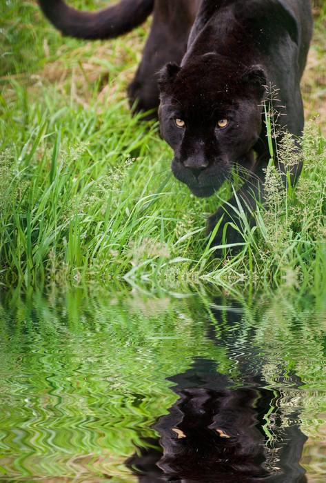 Vinylová Tapeta Černý jaguár Panthera Onca plíží přes vysoké trávě odráží - Savci