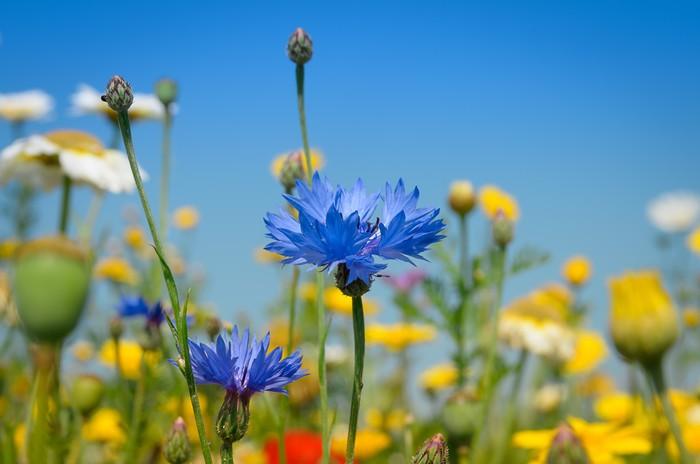 Vinylová Tapeta Krásná modrá chrpa - Květiny