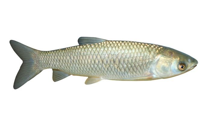 Nálepka Pixerstick The White Amur nebo amur (Ctenopharyngodon idella). - Nálepka na stěny