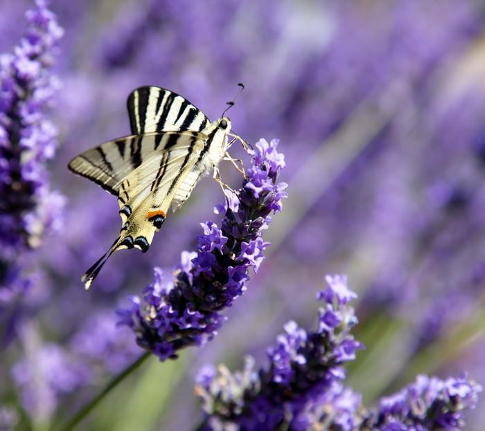 Vinylová fototapeta Butterfly na Lavender (Iphyclides podalirius) - Vinylová fototapeta