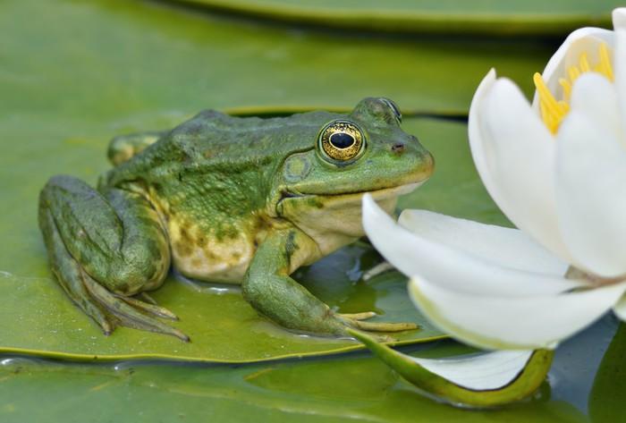 Vinylová Tapeta Marsh žába sedí na zeleném listu - Ostatní Ostatní